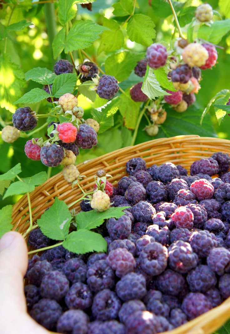 My favourite berry in the world, the purple raspberry 'Glen coe'. Tastes like they were injected with mulberry jam.