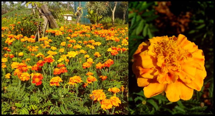 Tagetes Patula Marigold at our nursery
