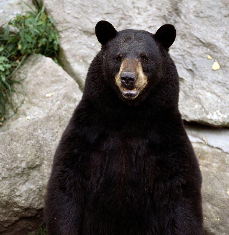 .: Spirit Animal, Blackbears, Black Bears, Bears Pictures, Animal Totems, Lions Tigers Bears Oh, Box Pies