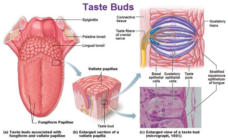 Taste receptors in taste buds