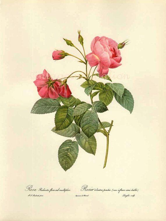 Antique Botanical print ROSA RECLINATA Redoute 1963 garden flowers art, vintage botanical rose flowers bookplate art print via Etsy