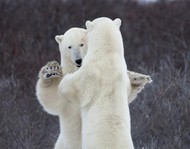 """May I have this dance?"" Polar bears in Churchill, Manitoba, Canada by richard.mcmanus via Flickr."