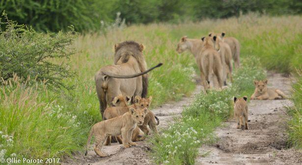 Lion family near Kalahari Plains Camp