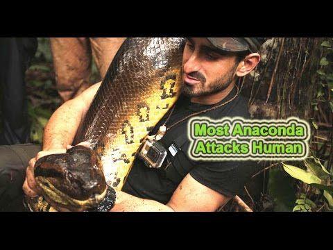1000+ ideas about Giant Anaconda on Pinterest | Anaconda ...