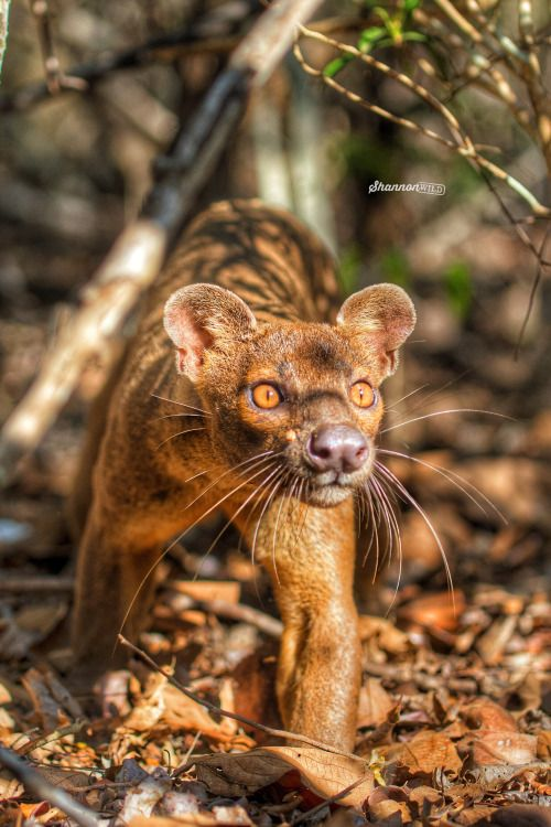 """""""Fossa.""""       Google search: """"The Fossa (Scientific name:Cryptoprocta ferox) is a cat-like, carnivorous mammal endemic to Madagascar. It is a member of the Eupleridae, a family of carnivorans closely related to the Mongoose family.Wikipedia."""""""