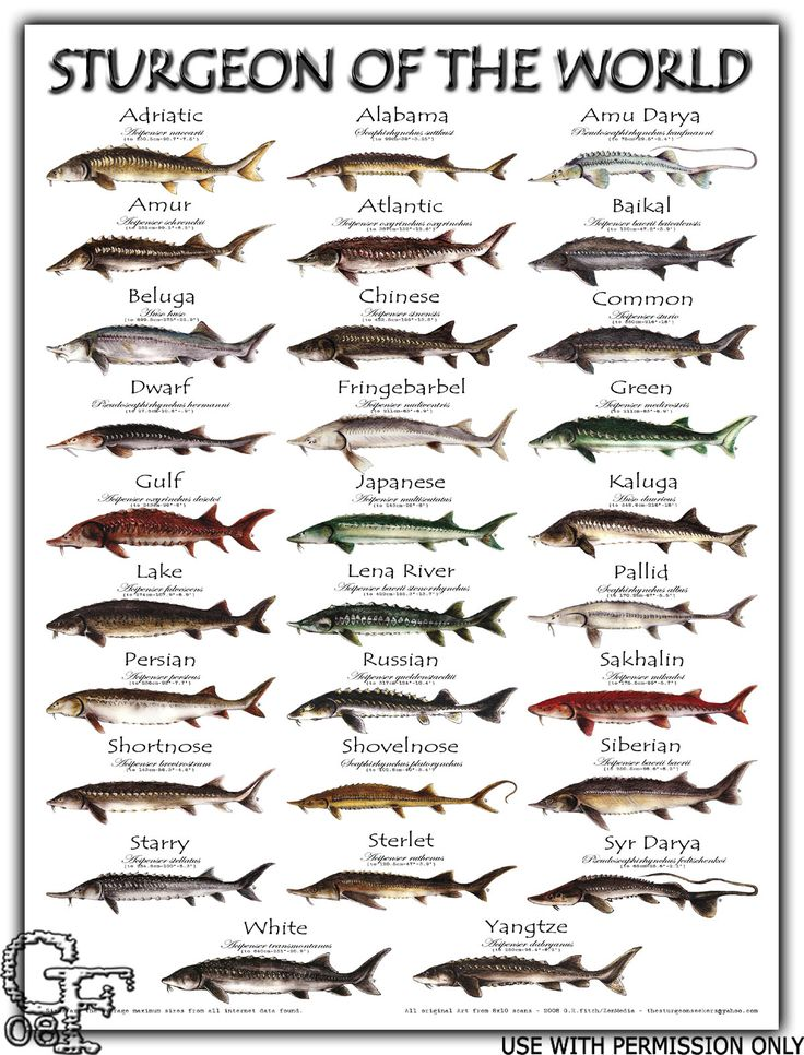 25 best ideas about sturgeon fish on pinterest lalique for Types of fish in alaska