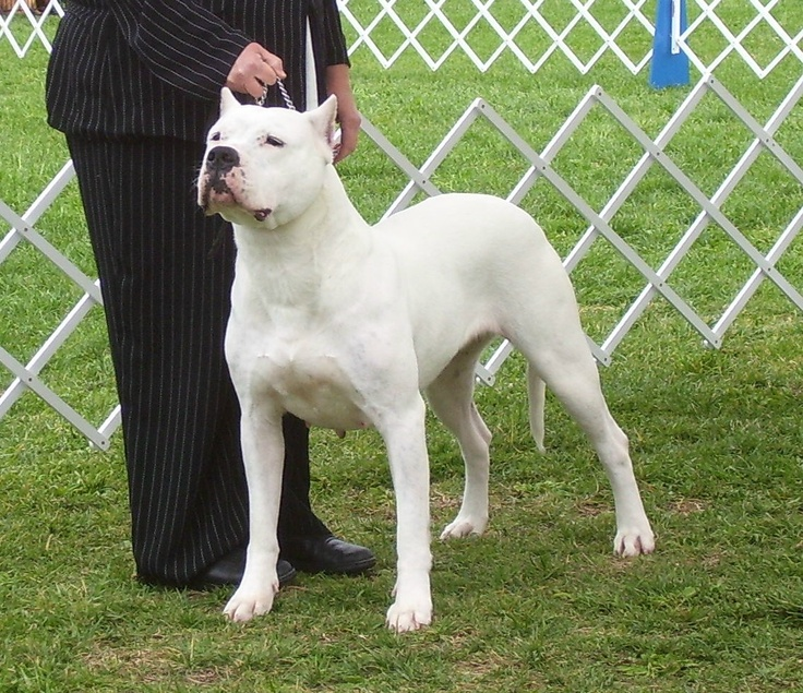 Dogo Argentino So gorgeous. I would never cut or crop any part of his body, though.
