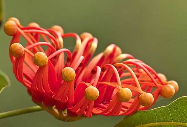 Firewheel tree flower - Stenocarpus sinuatus / Photo by June Andersen / Parks Australia