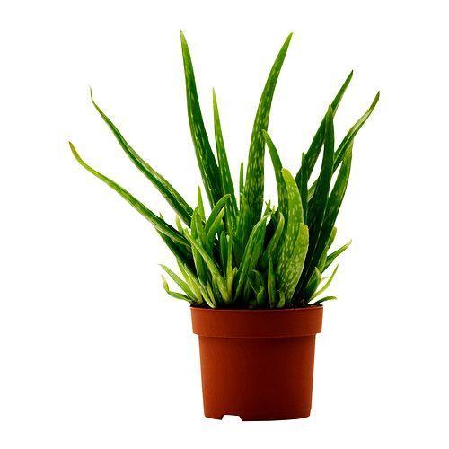 ALOE VERA Plante en pot, Aloe