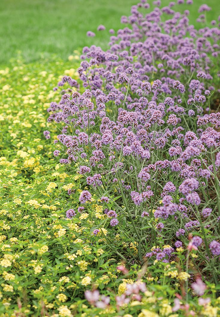 Keep your garden simple, with two plants that love the heat and dry conditions-- the height of Meteor Shower Verbena is a great color with Luscious Bananarama Lantana. Sit back and watch the butterflies enjoy these plants all summer long.
