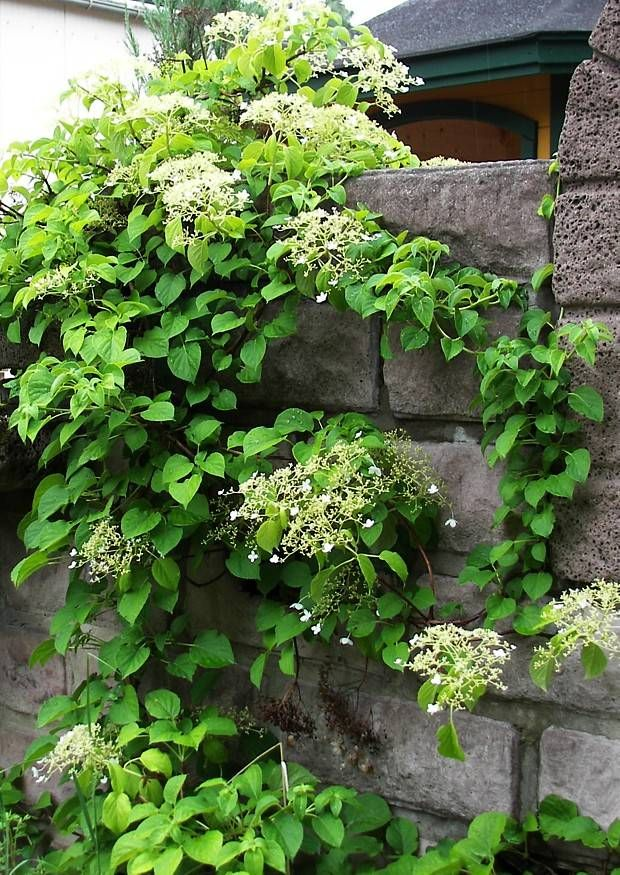 1000 images about climbing hydrangea on pinterest. Black Bedroom Furniture Sets. Home Design Ideas