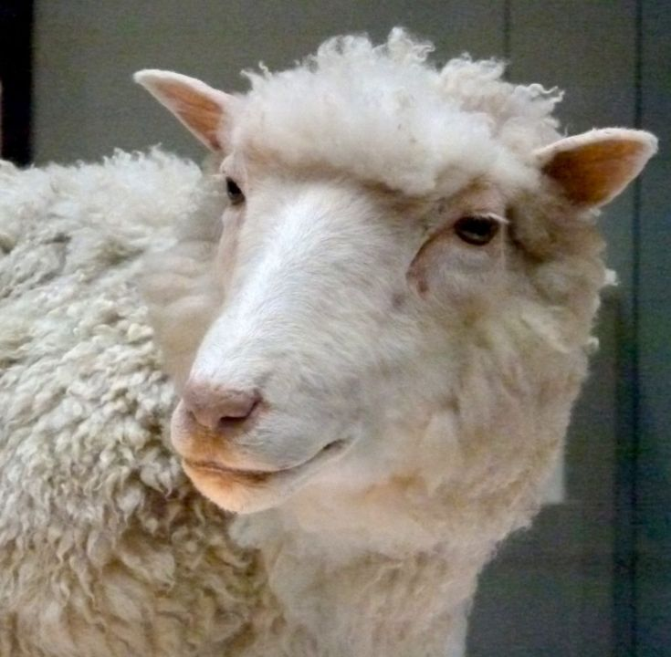 Saying hello to Dolly, world's first cloned mammal - Virily