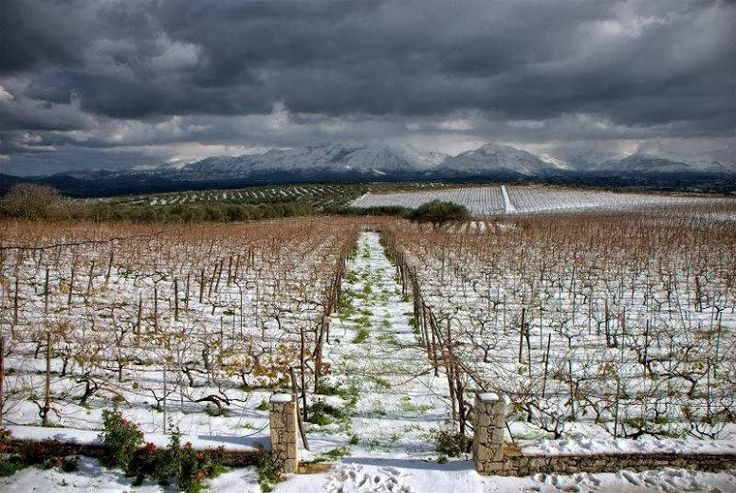 Lyrarakis vineyards in wintertime, Crete