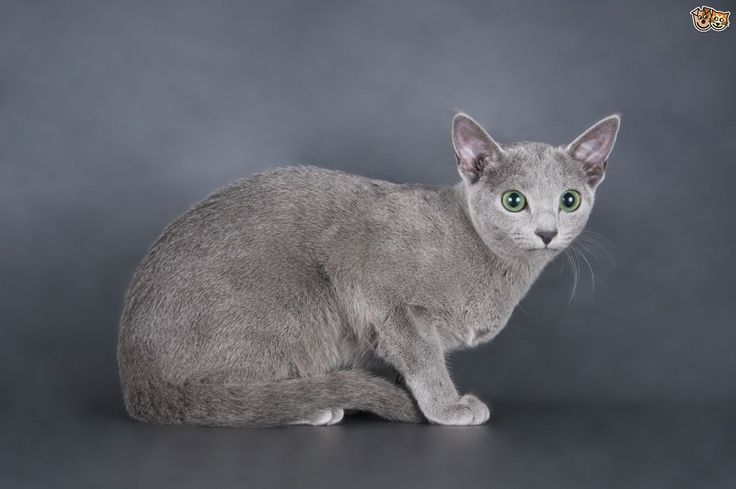 When Do Russian Blue Cats Stop Growing