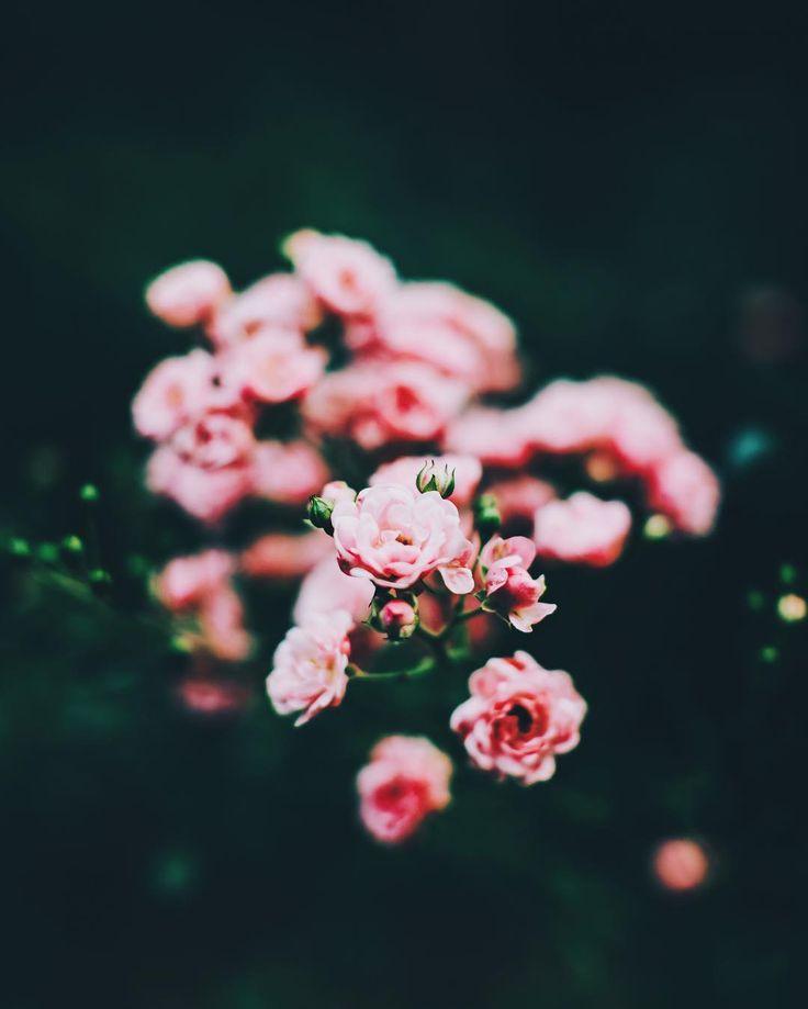 @wzzly Instagram #rose # flower #dark #nature #pink #green