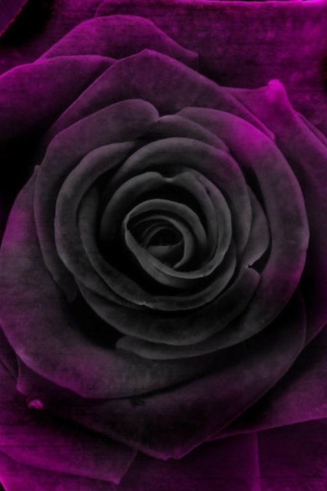 Deep Velvet Purple Rose Up Close Iphone Wallpaper