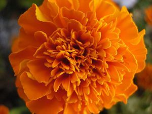 Marigold (tagetes): Tagetes (Nepali: सयपत्री) is a genus of annual or perennial, mostly herbaceous plants in the sunflower family (Asteraceae or Compositae). It was described as a genus by Linnaeus in 1753.  The genus is native to Nepal, North and South America, but some species have become naturalized around the world. One species, T. minuta, is considered a noxious invasive plant in some areas.  https://en.wikipedia.org/wiki/Tagetes