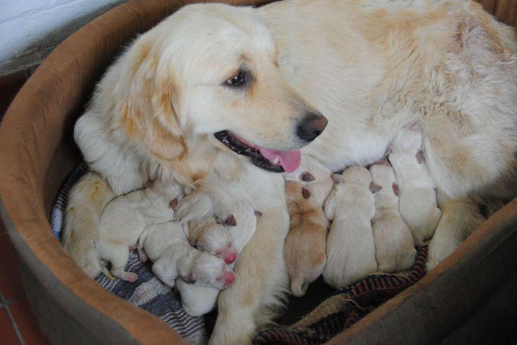 labrador retriever puppies Pedigree Labrador cross