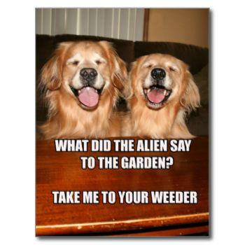 """This funny meme postcard features a photograph of two golden retriever dogs who are laughing at a joke. The joke reads, """"What did the alien say to the garden? Take me to your weeder."""" Text on back reads, """"A joke to make you smile,"""" but this can be changed or deleted. #dog #golden #retriever #joke #meme #funny #humor #laughing #dog #meme #alien #take #me #to #your #weeder #dogs #golden #retrievers #smile #smiling #photograph #two #dogs #humorous #laugh #augiedoggystore #garden"""