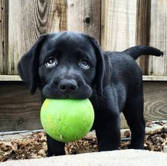 Oh how sweet!!!! This Labrador Retriever just wants to play ball with someone and those eyes are priceless.