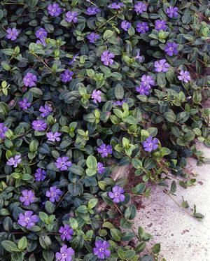 Vinca periwinkle was the only deer resistant, drought tolerant ground cover for our lake house planting plan... nice purple carpet.