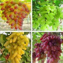Darmowa wysyłka, starszy Dziedziniec Roślin, pyszne Owoce, złota Palca Nasion Winogron, 4 Rodzaje kolory mieszane sumie 40 Nasiona/torba(China (Mainland))