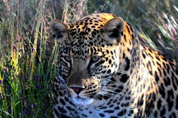 Leopard... do not be fooled by the kitten-like pose...