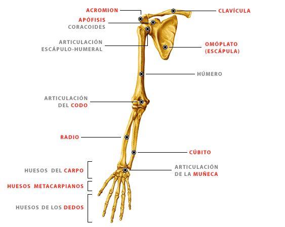 dibujo de los huesos de las extremidades inferiores - Buscar con Google