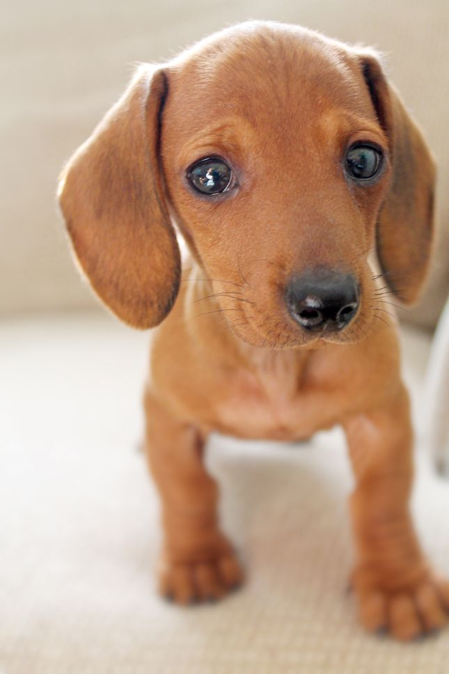 Mini Red Dachshund - give him a liver colored nose and green eyes and he's my baby Oscar when he was little!