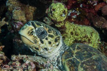 Tortue imbriquée - Rocky Island et Zabargad, perles du sud égyptien en Mer Rouge - Le Blog de la Plongée Bio