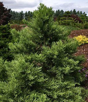 Sequoiadendron giganteum ' Blauer Eichzwerg ' Dwarf Blue Redwood