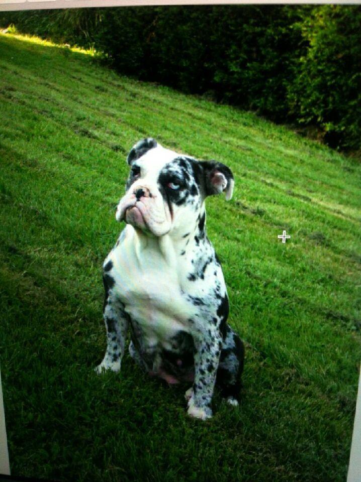 Olde English Bulldogge Blue Merle Roxies mommy