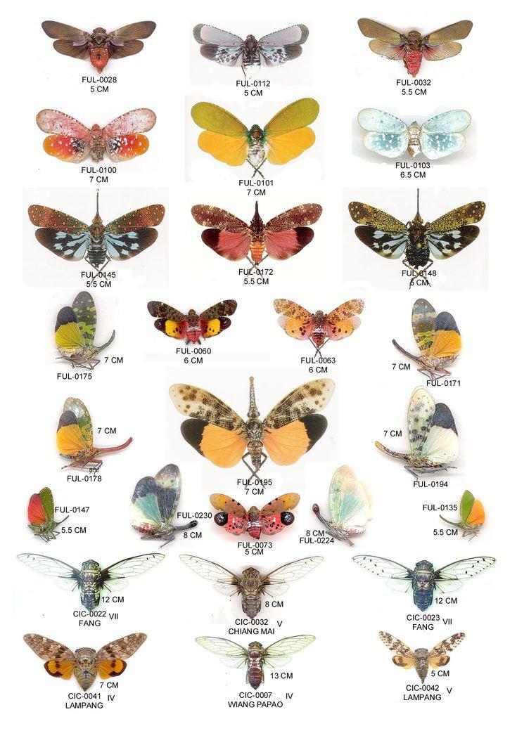 Fulgoridae collection