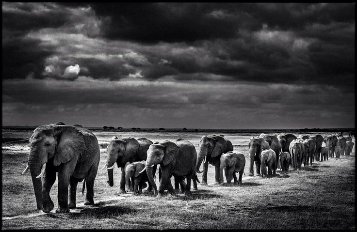 Laurent baheux black and white wildlife photographerthe reinvention diva
