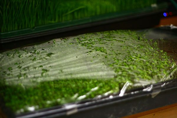 How to grow microgreens wheatgrass raw pinterest to for Best growing medium for microgreens