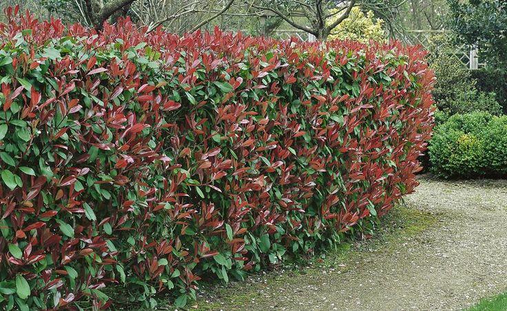 Die Glanzmispel 'Red Robin' (Photinia x fraseri) ist eine beliebte Heckenpflanze für wintermilde Regionen