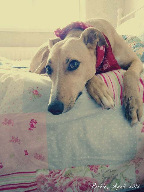 Greyhound.  One of the most beautiful dogs on the planet, inside and out.