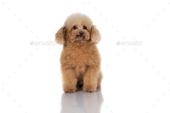 Miniature Poodle Dog Isolated By Odua Portrait Of Miniature
