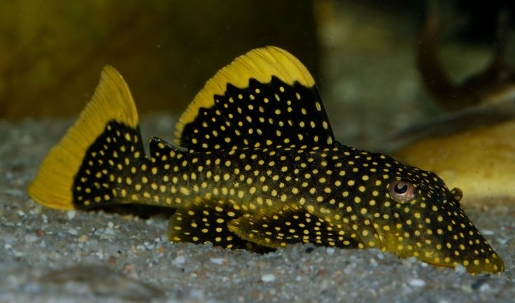 Gold nugget pleco aquarium freshwater fish pinterest for Pleco fish for sale