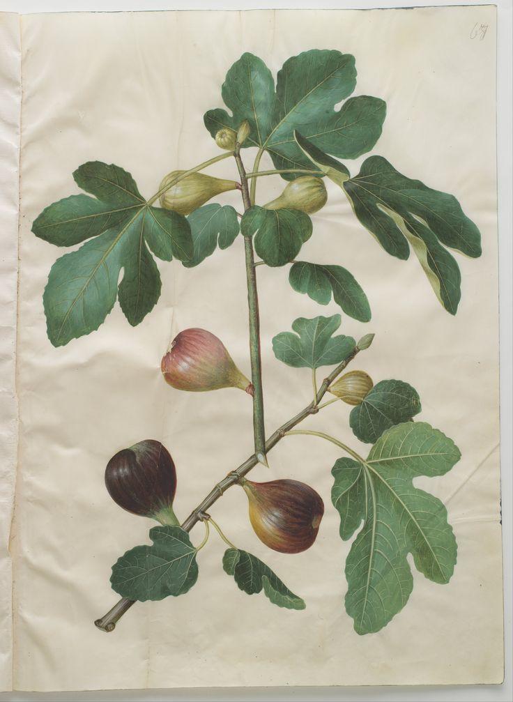 Fig I Ficus carica I ca.1659