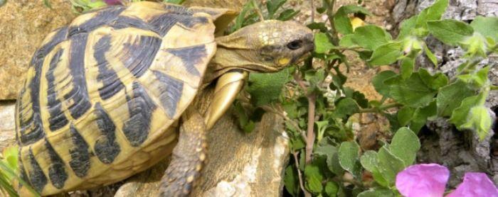 Pour une sortie originale en famille : partez à la rencontre des tortues Corses au village des tortues de Moltifao.