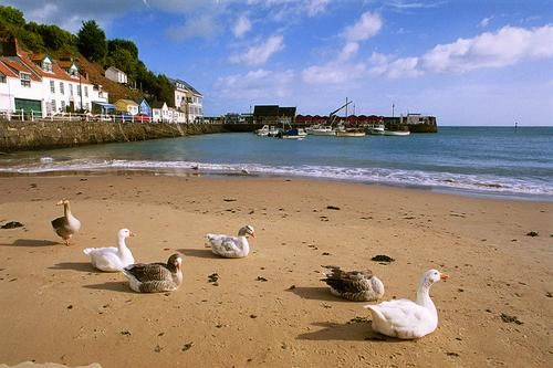 Geese at Rozel Bay, Jersey, Channel Islands, U.K. Jersey, a British channel island just off the coast of France!