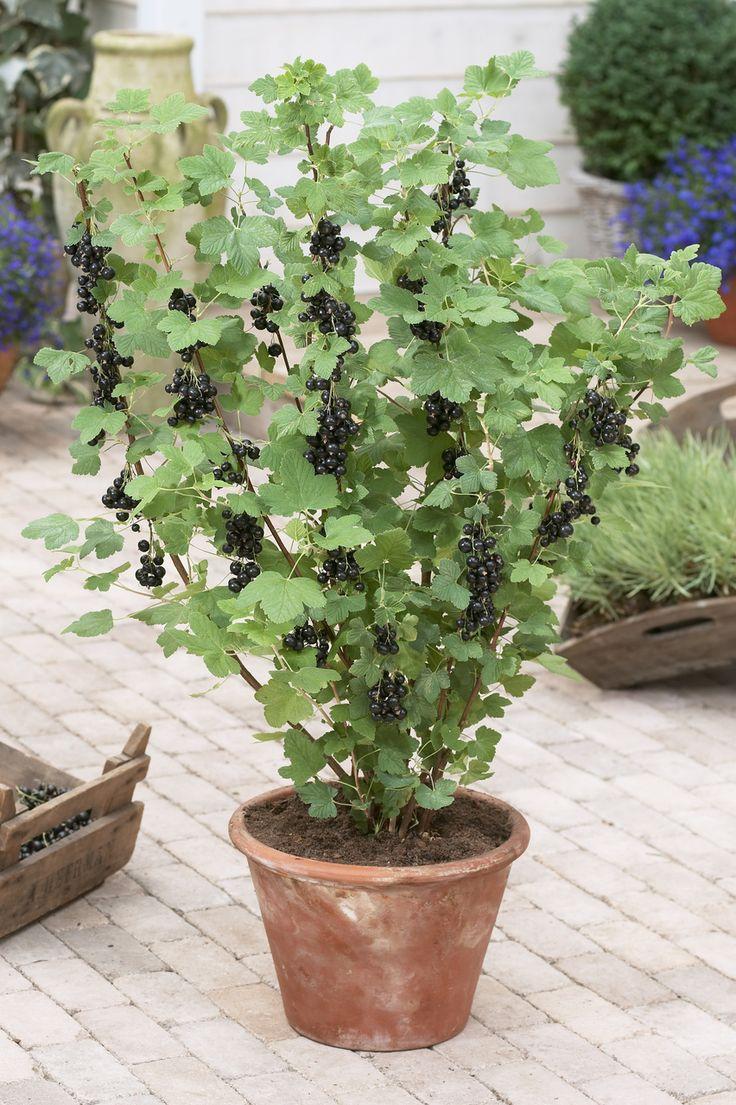 schwarze johannisbeere richtig schneiden pflanzen tipps. Black Bedroom Furniture Sets. Home Design Ideas