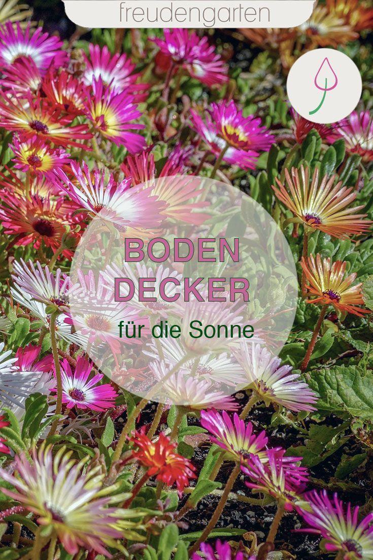 Bodendecker Fur Die Sonne Bodendecker Bodendecker Winterhart Pflegeleichte Pflanzen