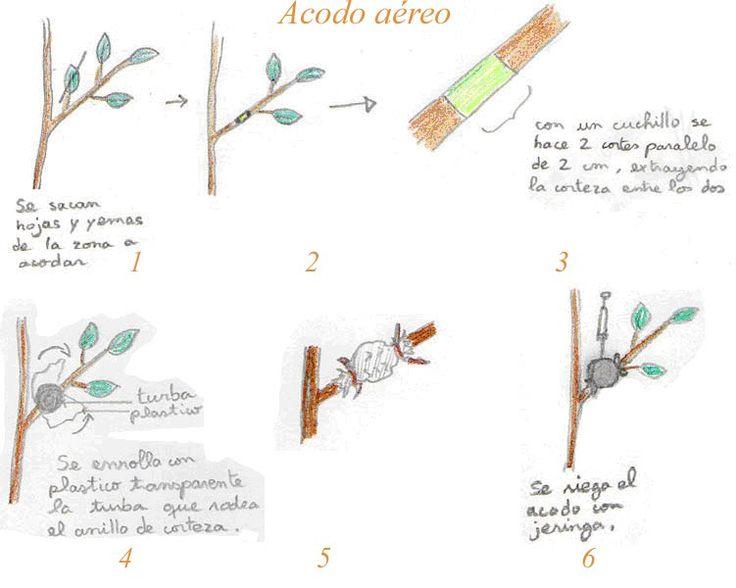 ACODOS AÉREOS - Las azaleas se acodan con facilidad.  - Este método vale la pena emplearlo para tener un número limitado de plantas nuevas, en especial, de las Azaleas de hoja caduca, que son difíciles de propagar por estacas.  - Se han usado satisfactoriamente los métodos de acodo simple, de montículo, de trinchera y aéreo.  - Multiplicación de Azaleas de hoja perenne.  - Las azaleas siempreverdes pueden propagarse por semilla, injerto y acodado, casi todas las plantas de vivero se inician…