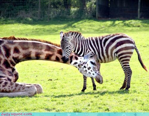 Giraffe and a zebra shows that unconditional love and true friendship can form even from enemies in nature.