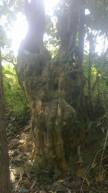 Yang minat kayu pule.