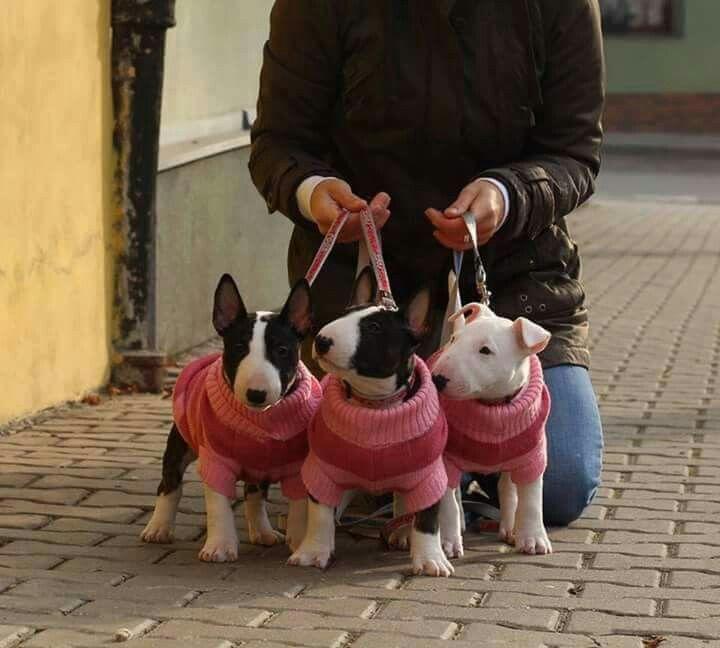 Little #Bull #Terriers. Cuteness overload.