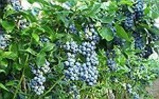 In internal use bilberry is used to treat the following diseases: diarrhea, enteritis, diabetes, uremia, urinary infections, kidney calculus, gout, rheumatism …constantin simion