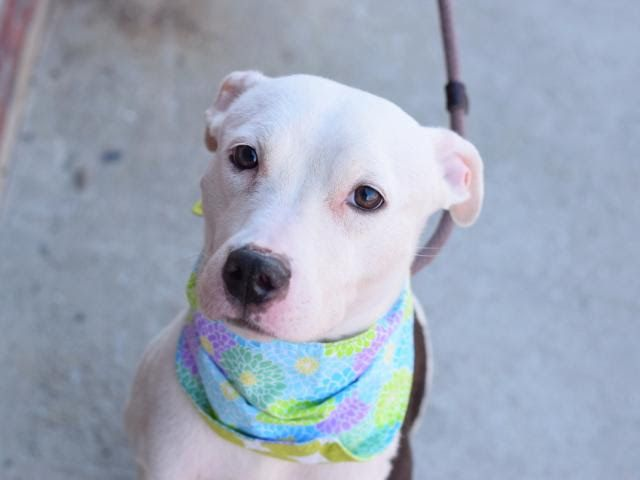 UNIQLO - A1095890 - - Brooklyn  Please Share:TO BE DESTROYED 11/20/16 A volunteer writes: She's a little bit shy, but a lotta bit sweet! When I first approached Uniqlo's kennel, I thought she was a puppy! She had curled herself into a tight little ball on her bed, and given she's small as it is, her shrunken position made her look even tinier! At only about 35 pounds, she could stand to gain some weight, but even when she does, she will remain petite-a poc